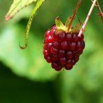 Raspberry ketone: coupe faim naturel pour perdre du poids